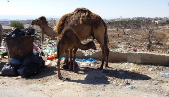 My Friend is a Palestinian Bedouin: XI The Bedouins